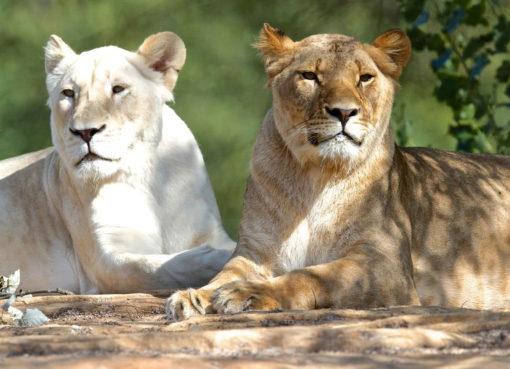 "< img src=""https://www.la-notizia.net/leone"" alt=""leone"""