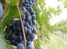 l'industria del vino